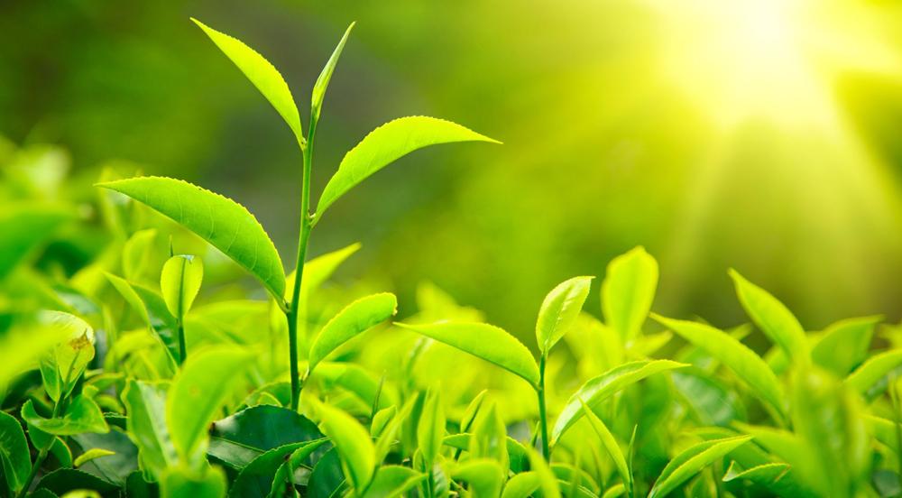 Bitkiler Güneş Enerjisini Nasıl Depolar