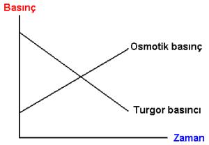 Ozmotik Basınç ve Turgor Basıncı Grafiiği